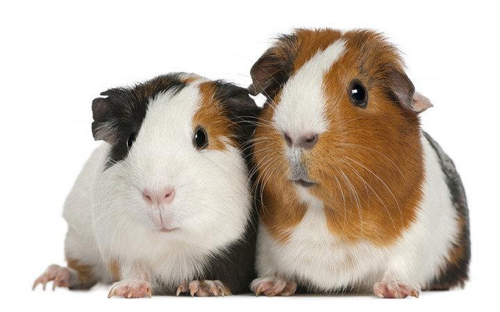 Are Guinea Pigs Really Pigs Wonderopolis